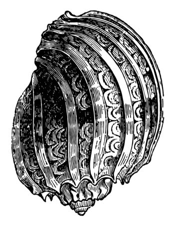 Harpa Ventricosa richly enameled within and ornamented externally with slightly oblique vintage line drawing or engraving illustration.