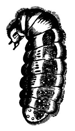 Larva of the Red Ant where the mouth is a retractible nipple vintage line drawing or engraving illustration.