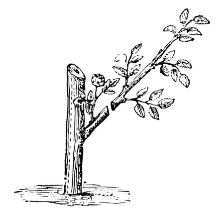 This illustration represents Shoots of Briar in which it must be cut back before the rose buds once the buds are safely established vintage line drawing or engraving illustration.