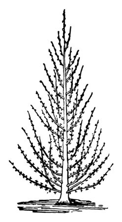 This illustration represents Pyramidal Training which is a type of Tree Trimming and Removal vintage line drawing or engraving illustration.