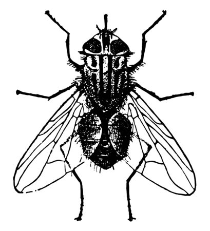 Stable Fly is a globally recognized pest of livestock vintage line drawing or engraving illustration.