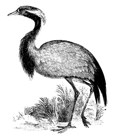 Demoiselle is a species of crane found in central Eurasia vintage line drawing or engraving illustration. Stok Fotoğraf - 132815851