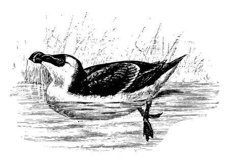Razorbill Auk which is feathered for about half its length vintage line drawing or engraving illustration.