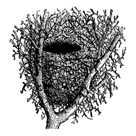 Nest of Hedge Sparrow chooses the fork of a hawthorn bush or some similar shrub vintage line drawing or engraving illustration.