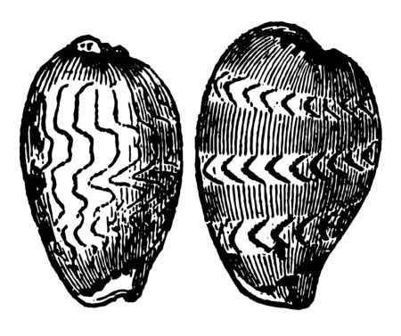 Cypraea Zigzag are beautifully ornamented with waving and broken lines vintage line drawing or engraving illustration.