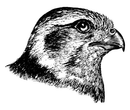 This image represents Prairie Falcon Head vintage line drawing or engraving illustration.