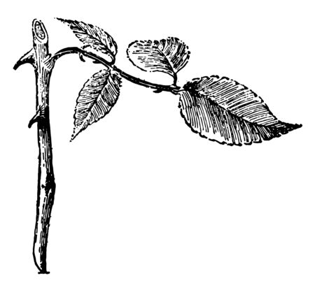 This illustration represents Rose Cutting is a root cutting of Rose vintage line drawing or engraving illustration.