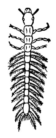 Larva of Gyrinus Natator which swim rapidly and describing incessantly capricious circles vintage line drawing or engraving illustration.