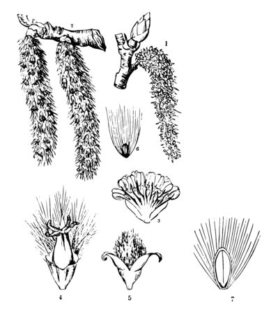 These are various parts of the common Aspen tree. It features the catkins bud branch flowers pollen grains and female stigma vintage line drawing or engraving illustration.