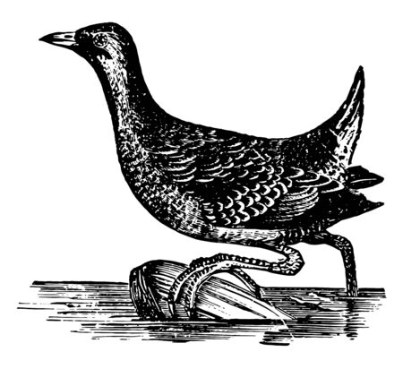Small Carolina Rail in which face and central line of throat black vintage line drawing or engraving illustration.