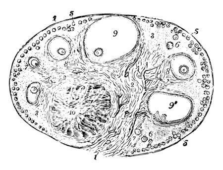 Ovary of the Cat where outer covering and free border of the ovary vintage line drawing or engraving illustration.