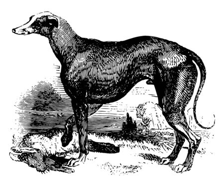 Greyhound is a breed of dog which has been bred for coursing game and Greyhound racing vintage line drawing or engraving illustration.