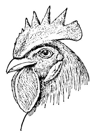 Single Comb Chicken Head which is smooth and standing on the head vintage line drawing or engraving illustration.