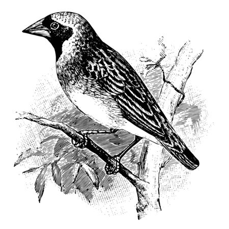 Quelea is weaver bird of Africa vintage line drawing or engraving illustration.