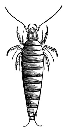 First Larva of Sitaris Humeralis where these eggs very small larvae vintage line drawing or engraving illustration. Иллюстрация