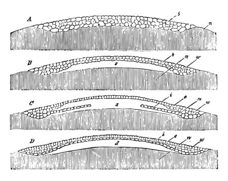 Egg Germination in which the mulberry mass of cleavage cells vintage line drawing or engraving illustration.