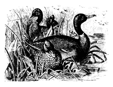 Mallards is a dabbling duck that breeds throughout the temperate and subtropical Americas vintage line drawing or engraving illustration.