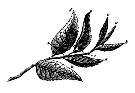 This illustration represents Plucked Tea Leaves where Indian methods are shown to pluck up to six leaves, vintage line drawing or engraving illustration.