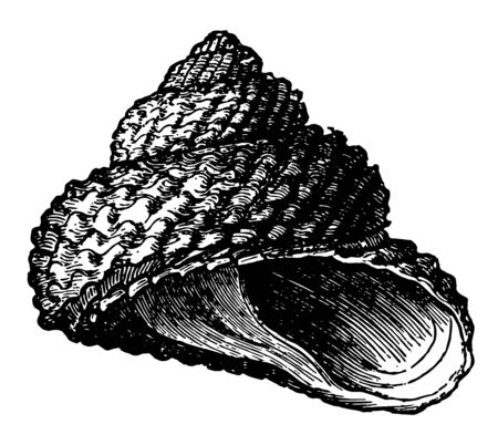Trochus Cookii is the species of the genus Trochus are found in all seas vintage line drawing or engraving illustration.