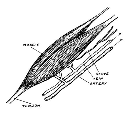 This illustration represents Bicep Muscle vintage line drawing or engraving illustration.