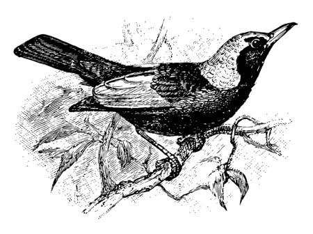 Regent Bowerbird with black velvety and golden yellow plumage in the male vintage line drawing or engraving illustration.