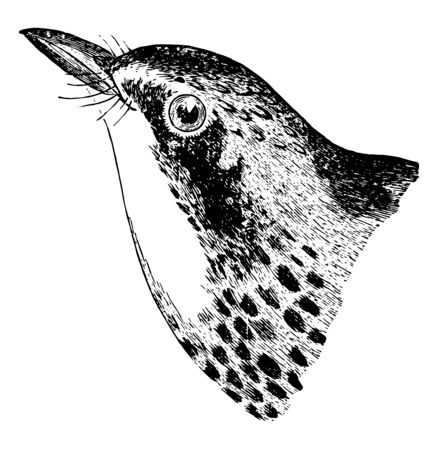 Canada Warbler crown speckled with lanceolate black marks vintage line drawing or engraving illustration.