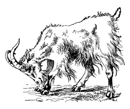 Goat is a subspecies of goat domesticated from the wild goat of southwest Asia and Eastern Europe vintage line drawing or engraving illustration.