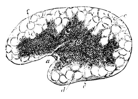 Mesenteric Gland cortical substance with indistinct alveoli vintage line drawing or engraving illustration.