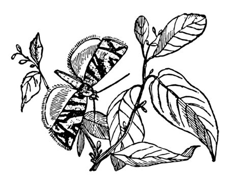 Poedisca Autmnana contains the smallest nocturnal Lepidoptera vintage line drawing or engraving illustration. 向量圖像