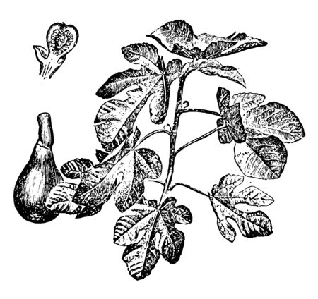 A branch of Fig along with cross section of a Fig fruit, vintage line drawing or engraving illustration.
