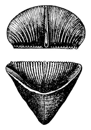 Slipper Coral also known as boomerang or tongue coral, vintage line drawing or engraving illustration. Ilustracja