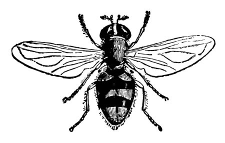 A Species of Volucella is a genus of large broad bodied dramatic hover flies vintage line drawing or engraving illustration.