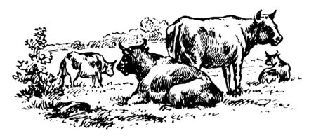 Cattle are the most common type of large domesticated ungulates vintage line drawing or engraving illustration. 向量圖像