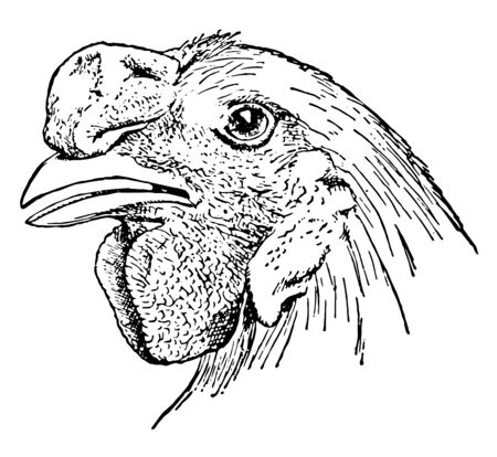 This illustration represents Chicken Head with Walnut Comb vintage line drawing or engraving illustration. Ilustracja