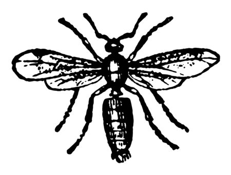 Male Ash Black Ant which employ a mortar in raising their hillocks at the same time vintage line drawing or engraving illustration.