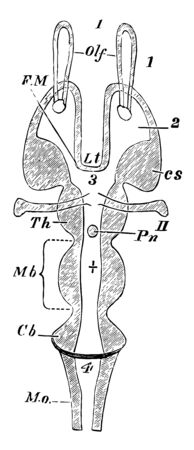 Horizontal Section of a Vertebrate Brain the mass lying above the canal represents the corpora quadrigemina vintage line drawing or engraving illustration.
