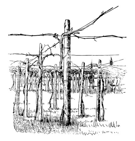 This illustration represents Cross Wire System of Grape Training which is another method of training which appears to be confined vintage line drawing or engraving illustration.