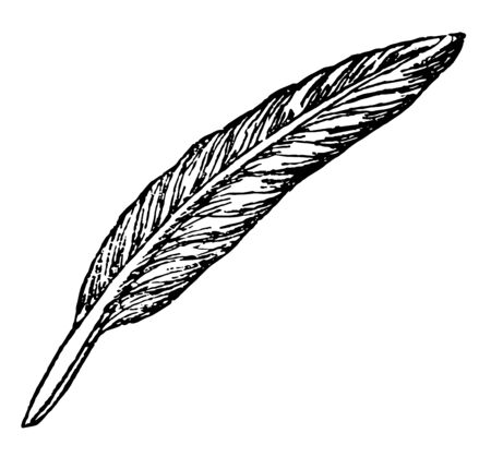 Quill is a writing implement made from a moulted flight feather of a large bird vintage line drawing or engraving illustration.