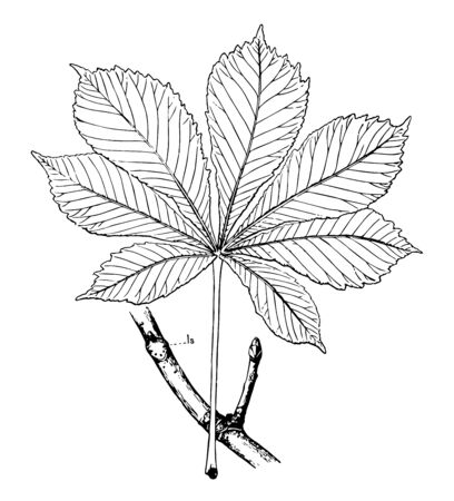 A picture of full leaf and buds of Horse Chestnut, vintage line drawing or engraving illustration.