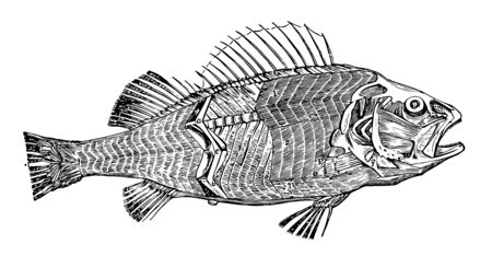 The Muscles of a Fish disposed on each side of the trunk in a series of plates vintage line drawing or engraving illustration. Ilustração