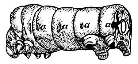 Front Half of a Caterpillar have opening air tubes vintage line drawing or engraving illustration. Ilustração