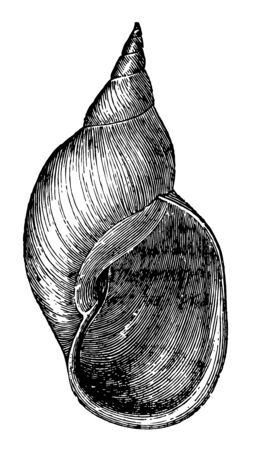 Limnaea Stagnalis which species of the genus Limnaea live vintage line drawing or engraving illustration.