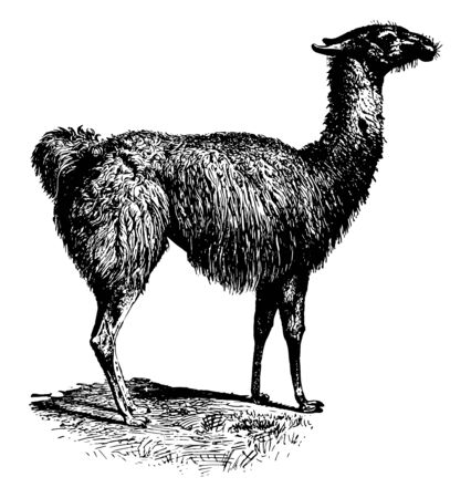 Guanaco color varies very little ranging from a light brown to dark cinnamon and shading to white underneath vintage line drawing or engraving illustration.