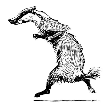 The badger animal is running, vintage line drawing or engraving illustration Ilustracja