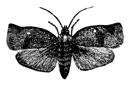 Tortricidae is a family of moths in the order Lepidoptera vintage line drawing or engraving illustration.