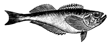 Sandfish a family of perch like fish vintage line drawing or engraving illustration.