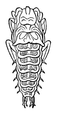 Larva of Mormolyce Phyllodes contains carnivorous beetles of very small size vintage line drawing or engraving illustration.
