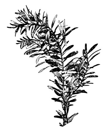 It is branch of Agathis tree this tree is very large its trunks which is available from Jurassic period evergreen trees & found in southern hemisphere vintage line drawing or engraving illustration.