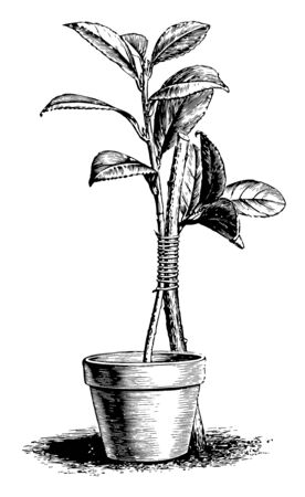 This illustration represents how to make an approach graft vintage line drawing or engraving illustration.