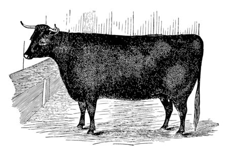 Devon Heifer is a rich red or tawny colour vintage line drawing or engraving illustration.
